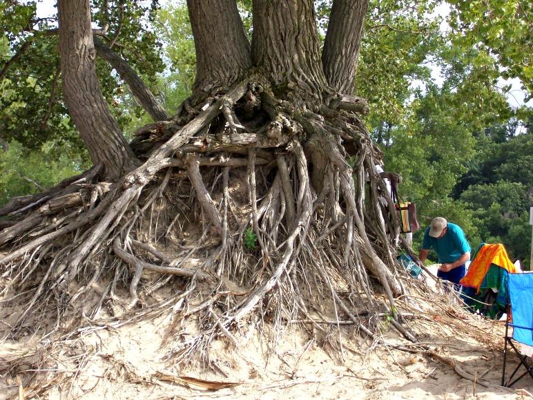 Warren dunes-old tree